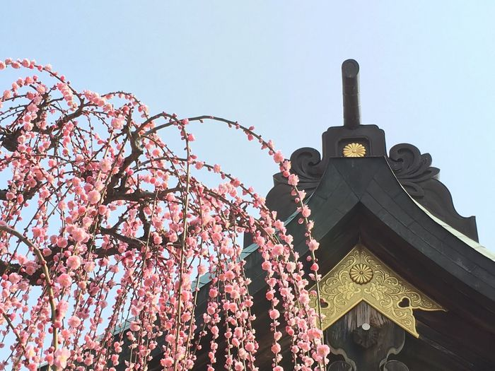 Low angle view of pink flowers on tree by shrine against sky