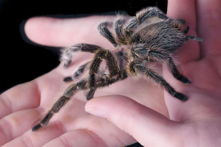 Tarantula in hands - isolated on black background.