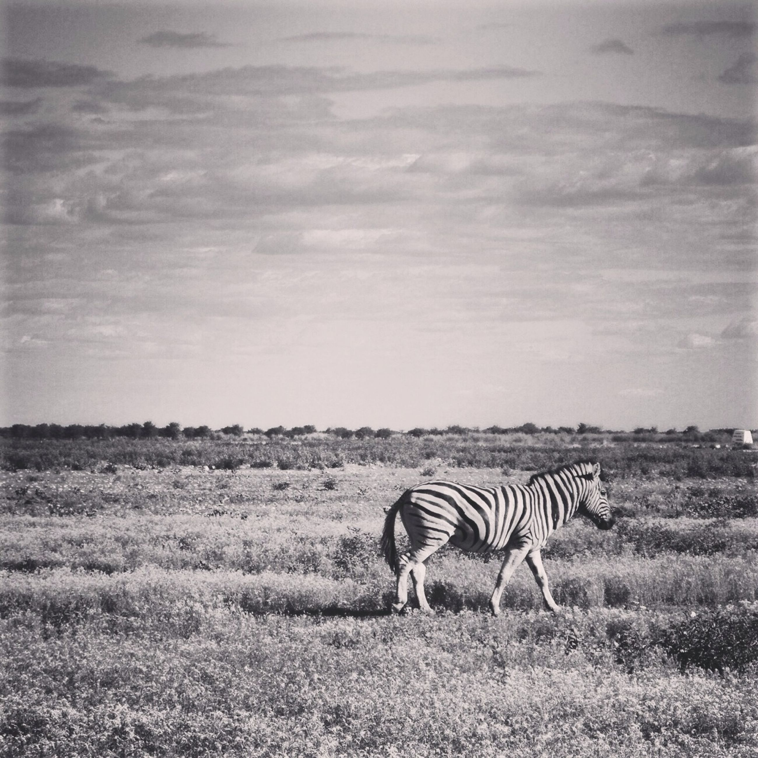 animal themes, animals in the wild, wildlife, field, grass, safari animals, zebra, landscape, standing, nature, sky, mammal, herbivorous, side view, one animal, grazing, beauty in nature, grassy, zoology, full length