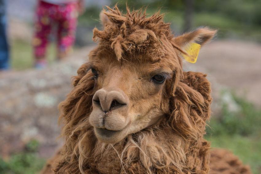 Cusco Peru South America Traditional Culture Alpaca Ziseetheworld