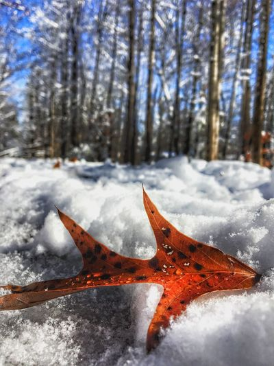Another Four Leaf Leaves Winter Cold Temperature Snow Nature Weather Beauty In Nature No People Close-up Outdoors Frozen Day Tree