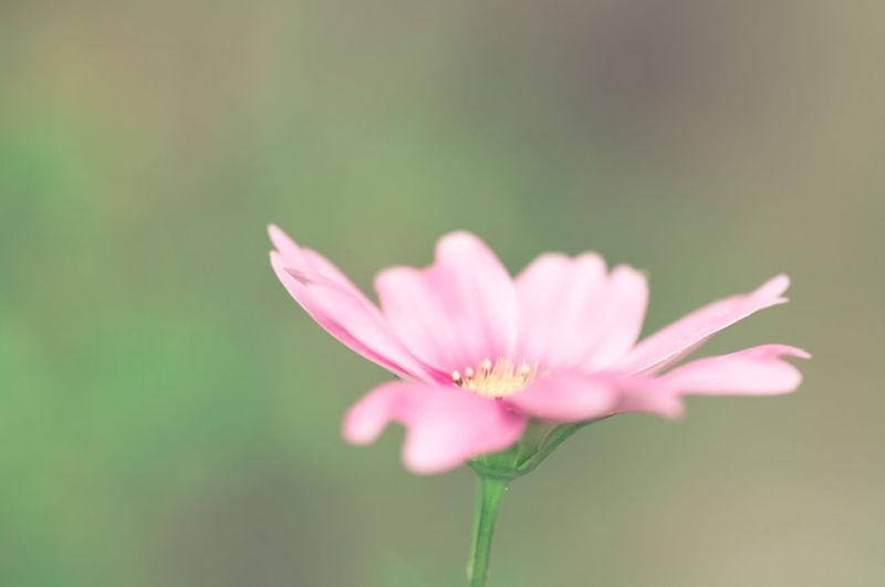 Close-up of cosmos bipinnatus flower