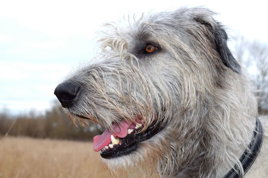 One Animal Domestic Animals Animal Body Part Animal Head  Close-up Sky Outdoors Looking At Camera Dogs Of Spring Dogwalk Dog Of The Day Cearnaigh Dogs Of EyeEm Spring 2017 Irish Wolfhound Dogslife March 2017 Bokeh Animals In The Wild How's The Weather Today?