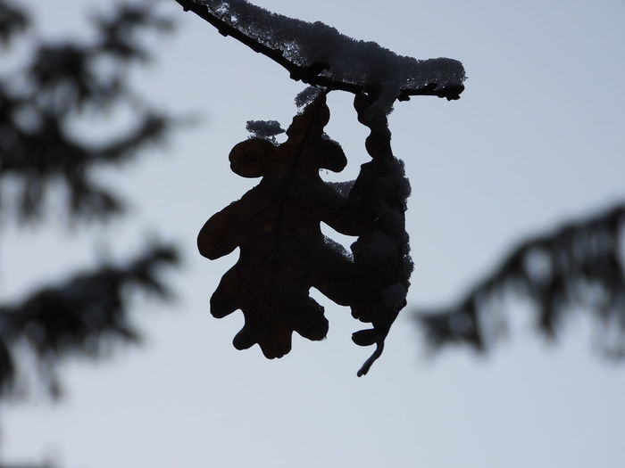 Close-up of snow on tree against sky