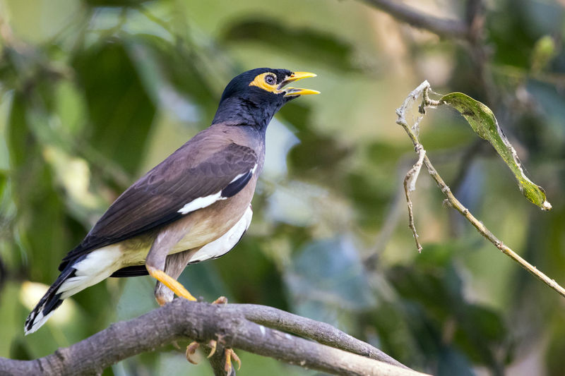 Image of common mynah bird on the branch on nature background. Wild Animals. Common Mynah Animal Themes Animal Wildlife Animals In The Wild Beak Beauty In Nature Bird Branch Close-up Day Focus On Foreground Nature No People One Animal Outdoors Perching Tree
