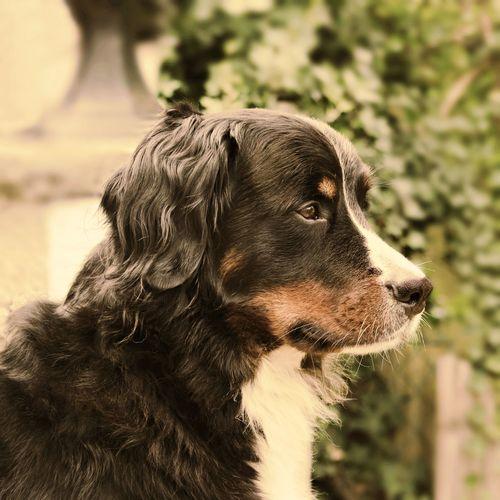 Close-up of bernese mountain dog