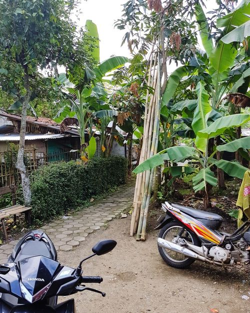 Kampung Gombong Motobikes Gombong INDONESIA Coconut Trees Coconut Tamarind Green Color Green Plants Flowers Day Outdoors Sand No People Plant Growth Beach Tree Nature