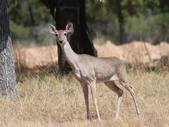 Deer near our