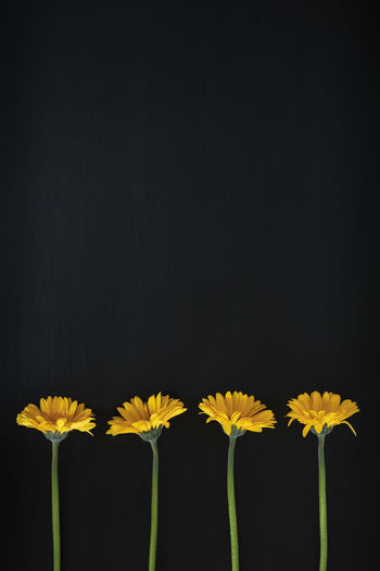 Four Gerbera Daisy's and against blackboard background with copy space. Copy Space Beauty In Nature Black Background Blackboard  Close-up Copy Space Copyspace Flower Flower Head Flowering Plant Fragility Freshness Gerbera Gerbera Daisy Indoors  Inflorescence Nature No People Petal Plant Plant Stem Side By Side Studio Shot Vulnerability  Yellow