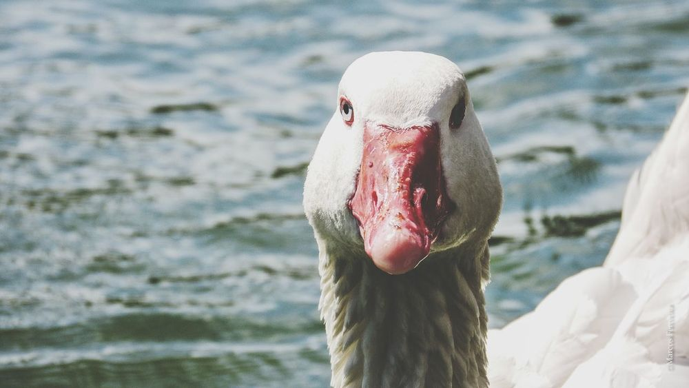 Ganso Goose Looking White Nature Rosedal Palermo Buenos Aires Argentina
