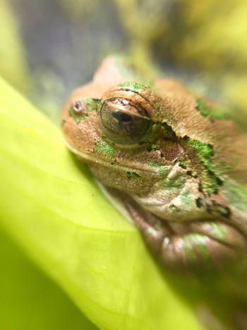 ニホンアマガエル Flog カエル 両生類 Amphibian