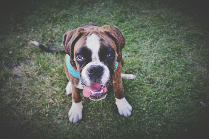 Mydog♡ Iloveher Boxer Dog 🐶