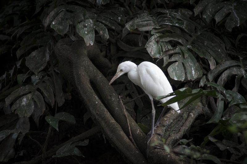 Heron bird, bali, indonesia ardeidae