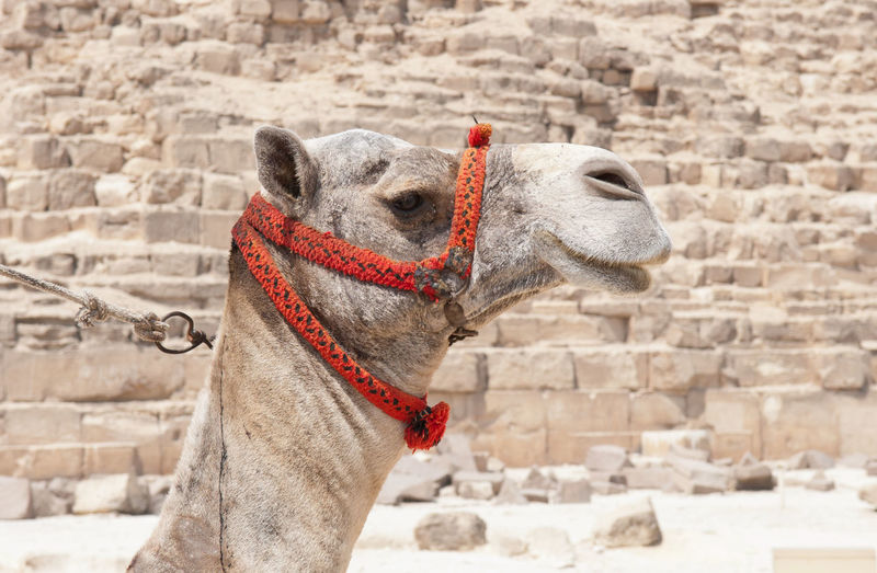 Close-up of camel against pyramid