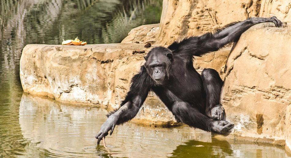 Chimpanzee On Rock By Lake