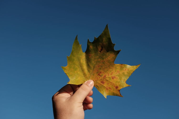 Cropped hand holding maple leaf against clear blue sky