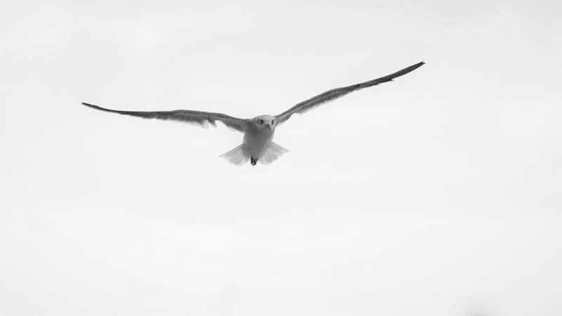 Animal Themes Animal Wing Animals In The Wild Avian Beauty In Nature Beauty In Nature Bird Blackandwhite Flight Flying Low Angle View Monochrome Nature No People One Animal Outdoors Seagull Spread Wings Tranquility Wildlife Zoology Monochrome Photography