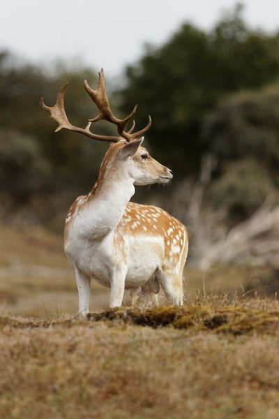 On The Lookout Stag Dunes Of Holland Animal Wildlife Animal Animal Themes Mammal Animals In The Wild Deer Land Antler