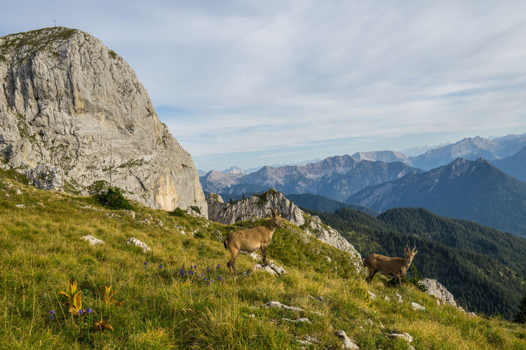 Two youn alpine ibex Mountain Mammal Sky Grass Animal Animal Themes Scenics - Nature Beauty In Nature Environment Mountain Range Nature Land Plant Domestic Livestock Landscape Tranquil Scene Day No People Outdoors Herbivorous Formation Wild Animal Alpine Ibex Two Animals Alps Tyrol Austria