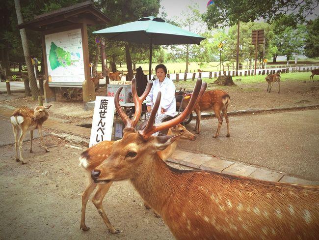 Japan 奈良 鹿