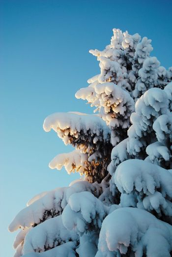 Close-up of frozen tree against clear blue sky