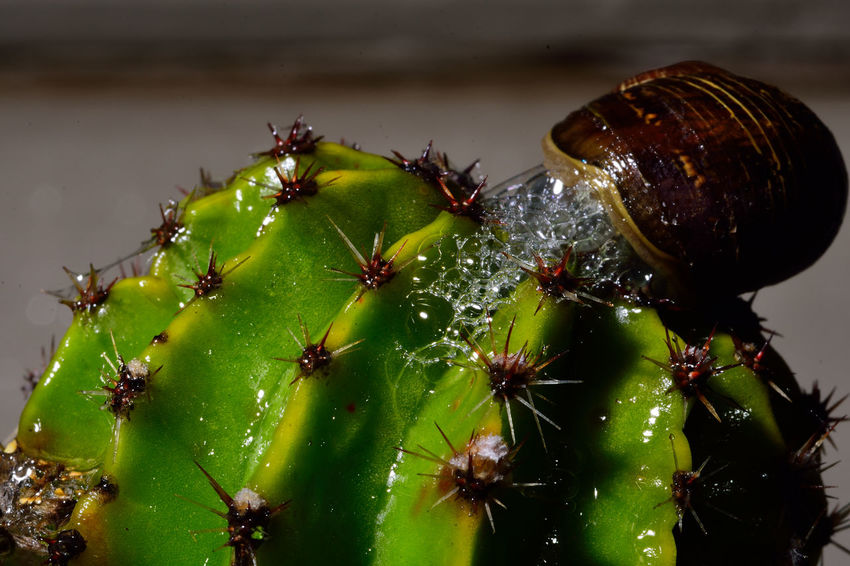 Bubble popped Beginnings Bubles Of Life Cactus Close-up Detail Focus On Foreground Growing Insect Macro_collection Nature Night Photography Nikon D7200 Nikonphotography No People Organic Pest Control Selective Focus Slime Snail Spring Has Arrived Thorns Gardening At Night
