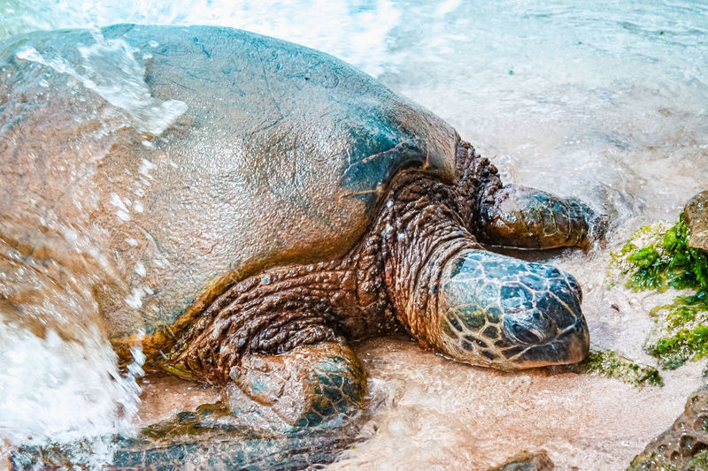Hawaiian green turtle going to sand