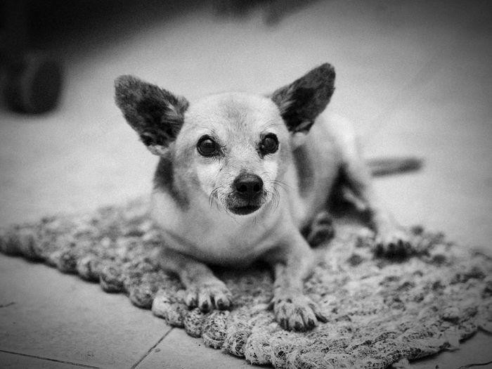 Looking At Camera Portrait Dog Pets Lying Down Domestic Animals Pet Portraits