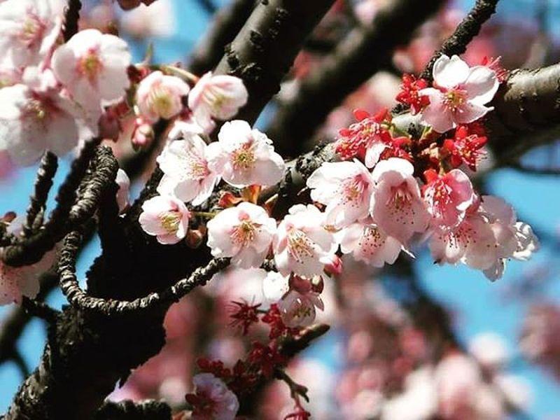 Japan Kyoto Tokyo Sakura Hanami Cherryblossom Plum Flowers Chessy Cerise  Bloom Blooming Bloomingdales Trave Winter Valentine Architecture Nature Holiday Instatravel Instaholiday Blu Skyline Okinawa Jal ana narita haneda