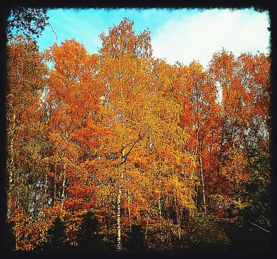 осень Autumn Autumn Leaves Yellow