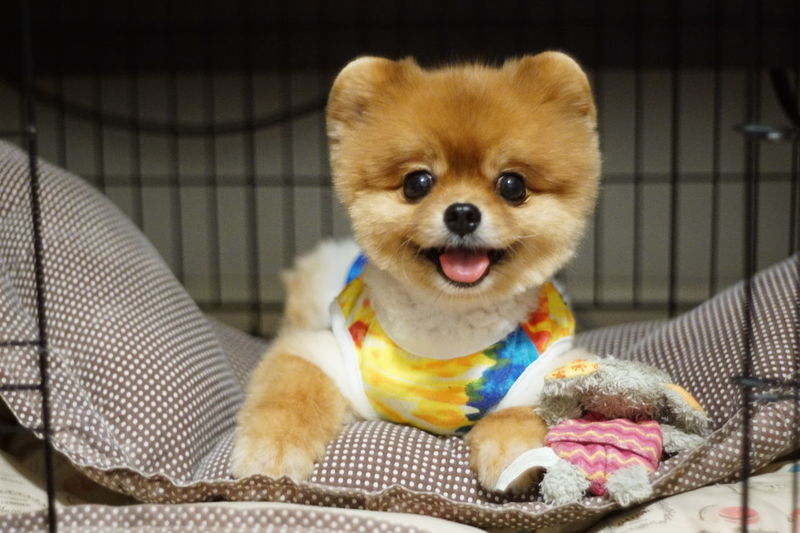 Happy Dog Just A Big Smile Lucky Boy With Smilling Eye Pomeranian Happy Time 😛 😁 💎 ✌ See Through My Eyes