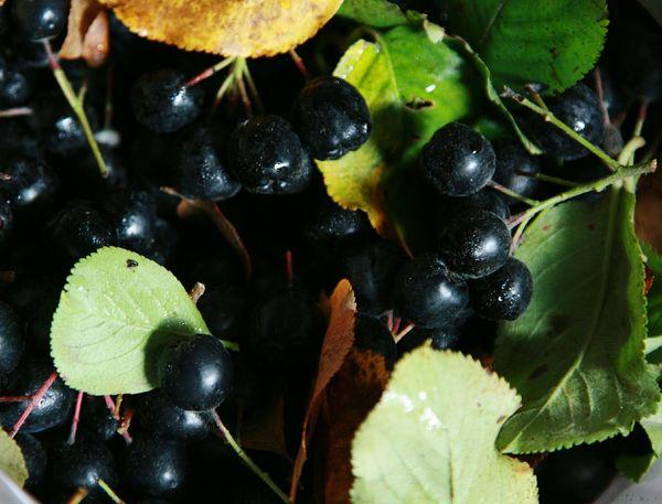 Рябина черноплодная арония ягоды осень урожай Berries Aronia Aronia Berries Black Chokeberry Harvest Autumn