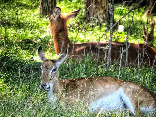 Deer EyeEm Nature Lover Animal Wildlife Animal Themes Captivity Wildlife Preserve Naturelovers EyeEm Nature Lover Outdoors Grass Animals In Captivity
