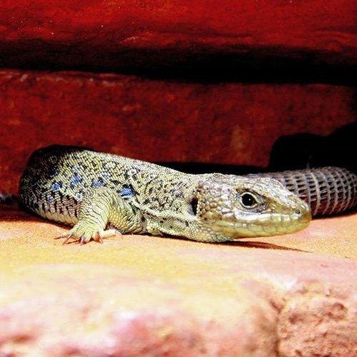 Osloreptilpark Reptilparken Lizard øgle Lifeincolors Reptile Oslo Finskapning @osloreptilpark Nature's Diversities