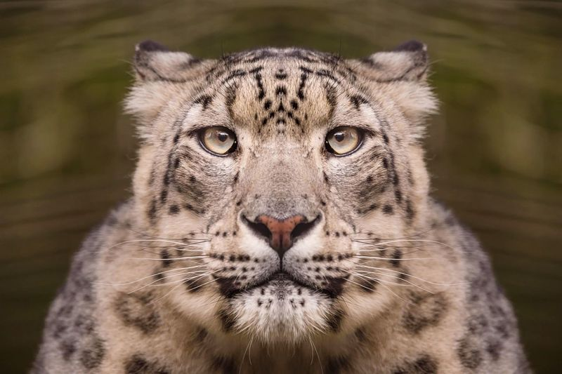 Close-up portrait of a big cat