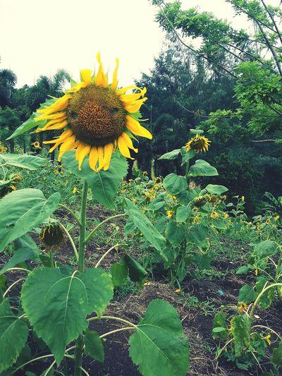 Sunflower garden! 😍🌻 Summer Memories... Summertime Photoshoot Photojournalism Photography In Motion Photographer Photooftheday Photo Photography Photographic Memory Photograph Bicolano Camsur Bicolandia Summer2016 2016 2016summer