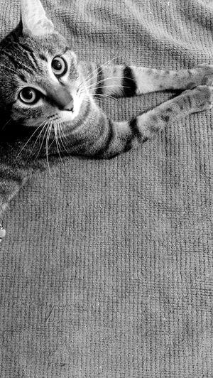 瘋子 Cat Watching Looking At Camera Crazy Cat I Love My Cat So Cute Love Today