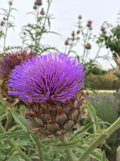 Cardoon Beautiful Nature Cardoon Purple Nature Garden IPhone No Edit/no Filter Flower Iphonephotography Artichoke Thistle Cynara Cardunculus HDR HDR Collection Hdr_Collection