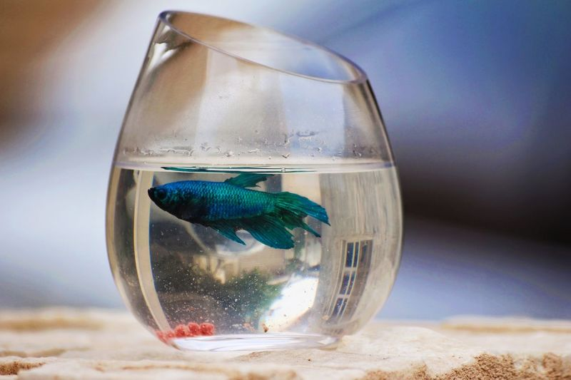 Fishbowl Transparent Water Animal Themes Goldfish Glass - Material One Animal No People Swimming Fish Indoors  Animals In The Wild Pets Close-up Focus On Foreground Sea Life Blue Day
