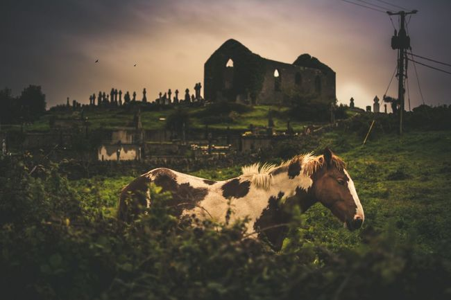Horse in front of the Cemetery in Ennistymon, County Clare, Ireland Horse Horses Cemetery Cemetery Photography Ireland Ireland🍀 Eire Sunset Birds No People Creepy Graveyard Grave Cloud - Sky Cloud Crazy EyeEm Selects Animal Sunset Mammal Agriculture Outdoors Rural Scene Nature Fog Domestic Animals Grass Animal Themes Day Sky