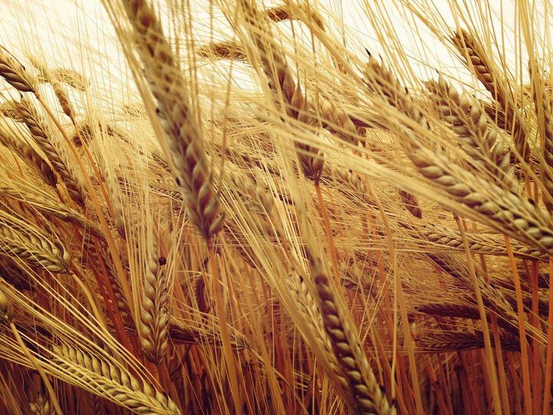 むぎ 畑 小麦