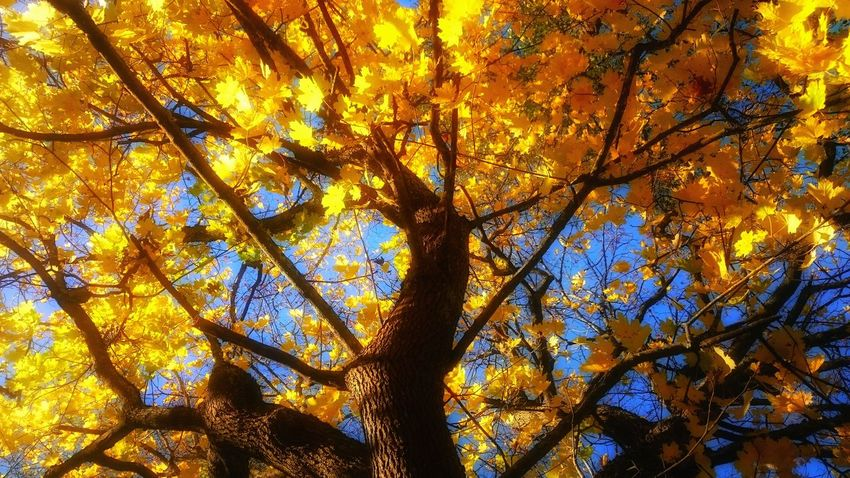 Autumn Yellow Tree Low Angle View Beauty In Nature Nature Change Leaf Branch Colors And Textures Of Nature Looking Up! Viewpoint