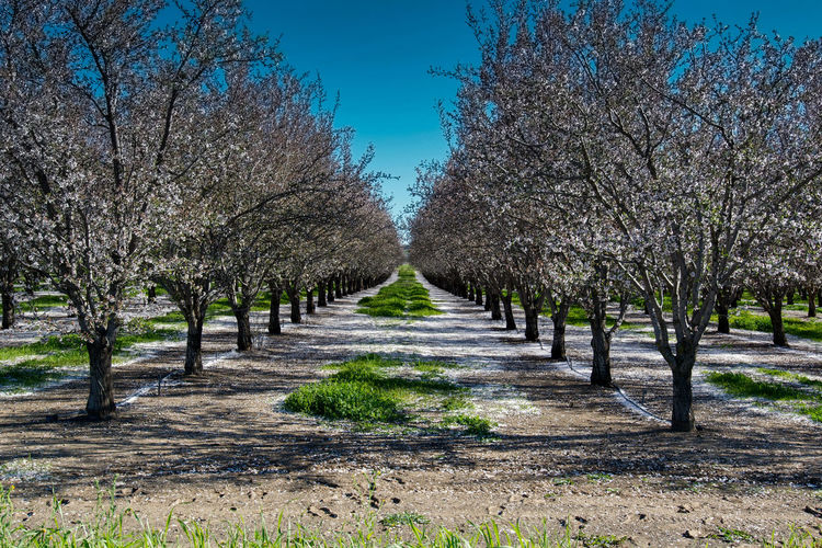 Almond orchard in the spring of California with white flowers blooming Tree Plant Beauty In Nature Growth Nature Treelined Tranquil Scene Tranquility Scenics - Nature No People Day Sky Springtime Blossom Landscape Flower In A Row Land Diminishing Perspective California USA Blooming Flowering Plant Agriculture Orchard