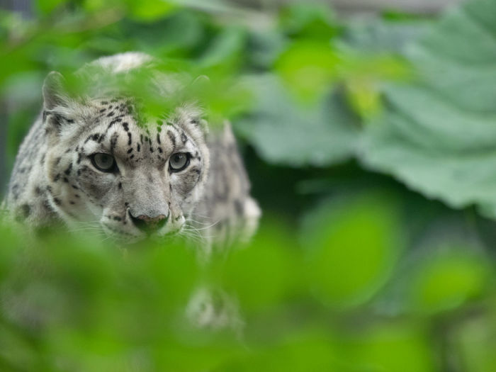 Close-up of white bengal tiger behind leaves