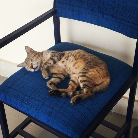 Queen sleeping in Comsats Attock . Comsatsatk punjab pakistan cat cats kitty animal pet pets