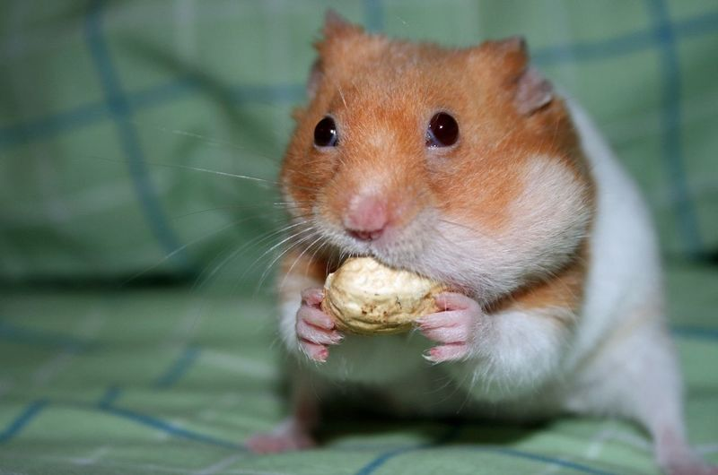 Hamster shoving a peanut into his mouth Animal Themes Cute Eating Hamd Hamster Indoors  One Animal Peanut People Snapshots Of Life