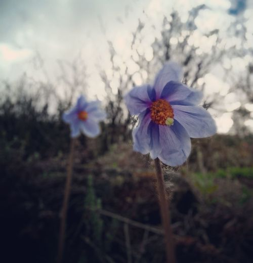 The elusive Blue Poppy Bluepoppy Flower Head Flower Petal Close-up Sky Plant Wildflower In Bloom Plant Life Uncultivated