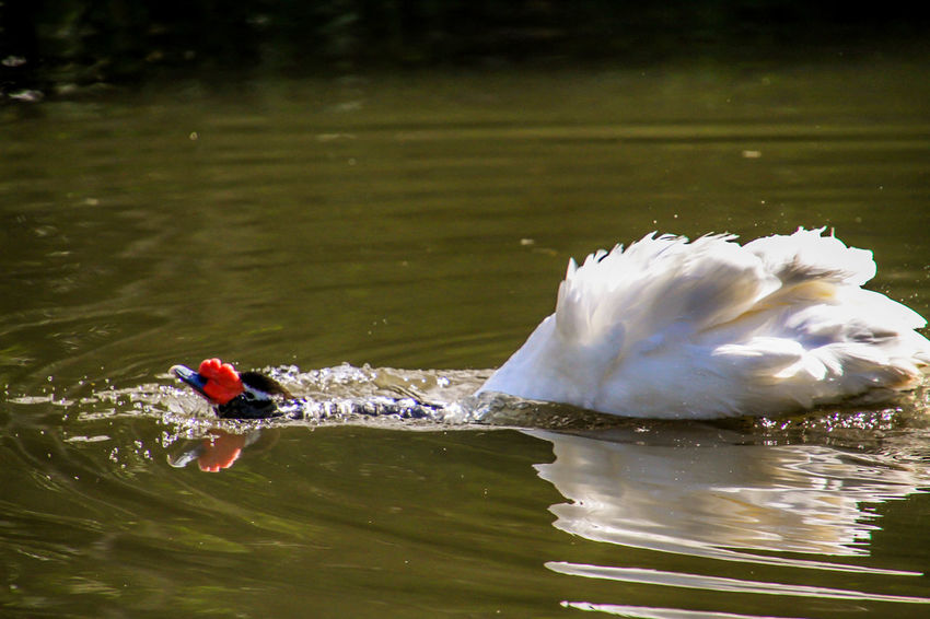 Animals In The Wild Black Swan Swimming Animal Animal Photography Animal Themes Animal Wildlife Dipping Swan