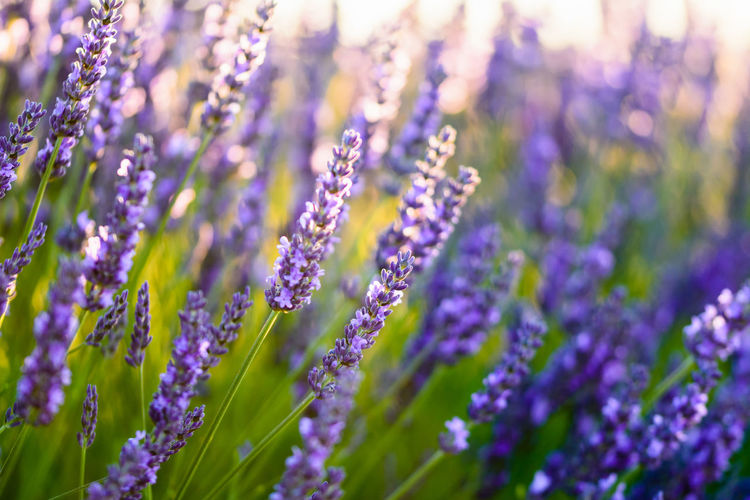 Beauty In Nature Blooming Blossom Blue Botany Close-up Day Flower Flower Head Focus On Foreground Fragility Freshness Growing Growth In Bloom Lavender Nature No People Outdoors Petal Plant Purple Selective Focus Stem Tranquility