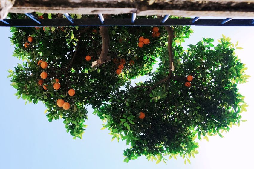 Orange tree Orange Plant Tree Healthy Eating Growth Food Food And Drink Fruit Nature Day Green Color No People Low Angle View Outdoors Freshness Branch Leaf Plant Part Sky Beauty In Nature